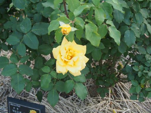 20160605・智光山公園植物19・バラ・マルコポーロ