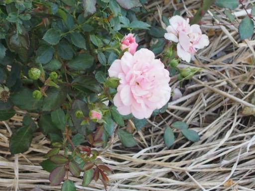 20160605・智光山公園植物29・バラ・ボニカ'82