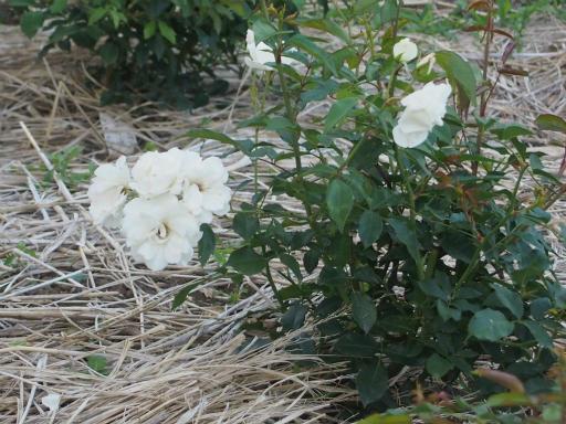 20160605・智光山公園植物27・バラ・アイスバーグ