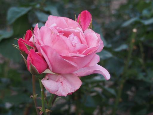 20160605・智光山公園植物25・バラ・クイーンエリザベス
