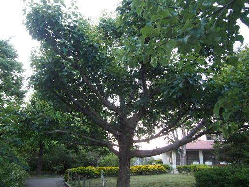 20160605・智光山公園植物36・ハンカチノキ