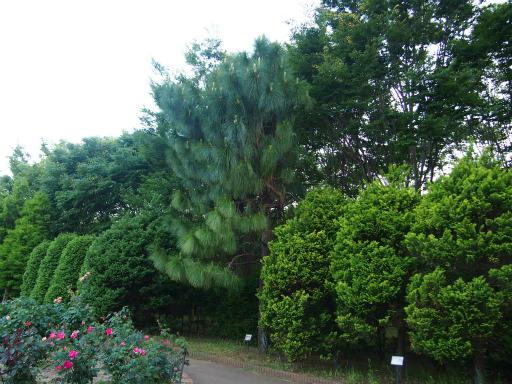 20160605・智光山公園植物33・ダイオウショウ