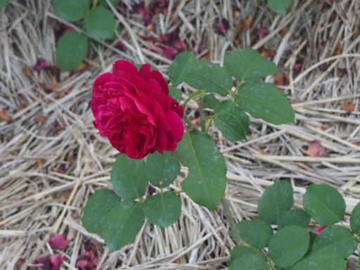 20160605・智光山公園植物31・バラ・ムンステッドウッド