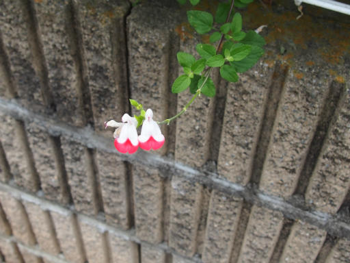 20160709・近所植物06・チェリーセージ