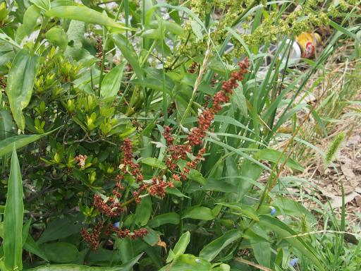 20160709・近所植物04・ギシギシ