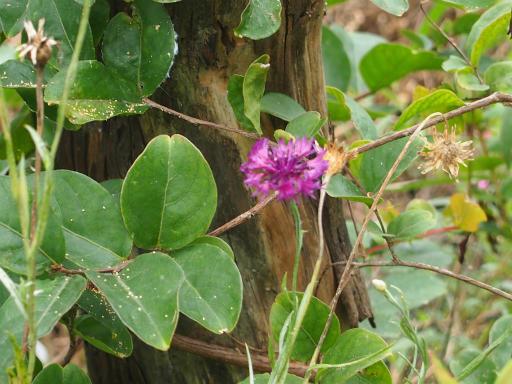 20160709・近所植物12・アサツキ