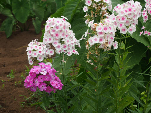 20160709・近所植物11・クサキョウチクトウ