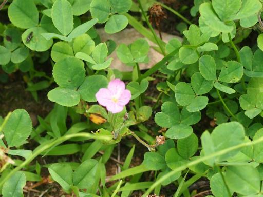 20160709・近所植物07・アカバナユウゲショウ