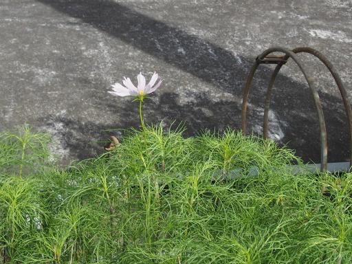20160710・狭山湖植物08・コスモス