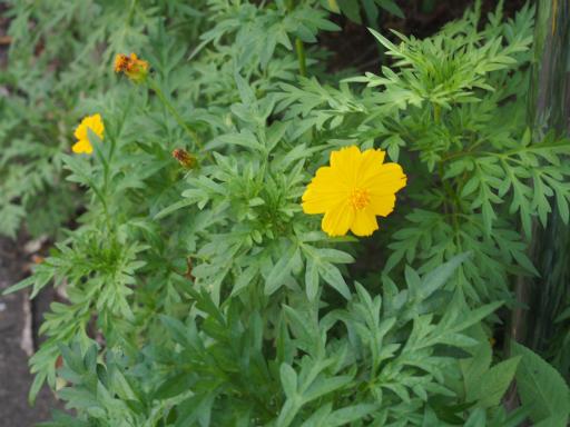 20160710・狭山湖植物09・キバナコスモス