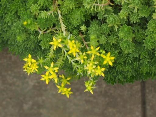 20160710・狭山湖植物14・メキシコマンネングサ