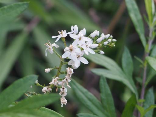 20160710・狭山湖植物24・オカトラノオ