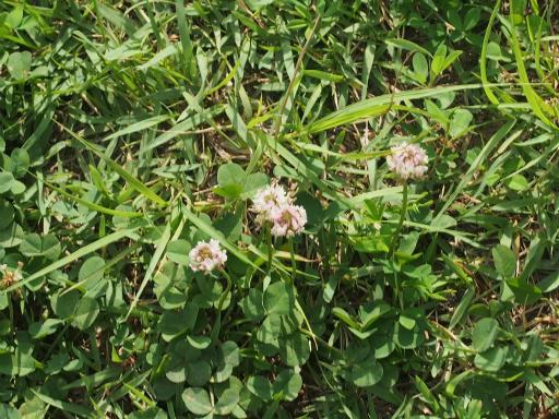 20160710・狭山湖植物21・葉っぱが変でしょ?^±^;
