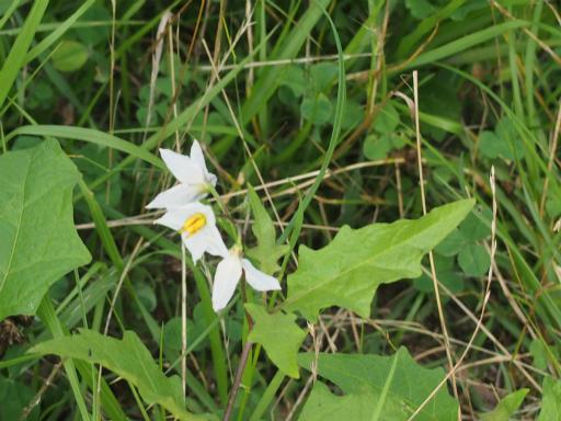 20160710・狭山湖植物23・ワルナスビ