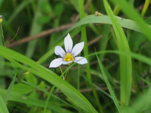 20160710・狭山湖植物19・ニワゼキショウ