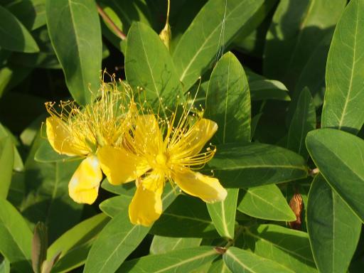20160710・狭山湖植物29・ビヨウヤナギ