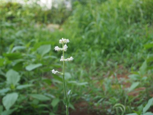 20160710・狭山湖植物26・ヤブミョウガ