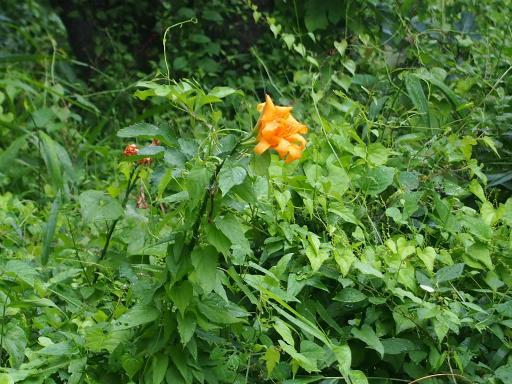 20160716・浅間山植物05・ヤブカンゾウ
