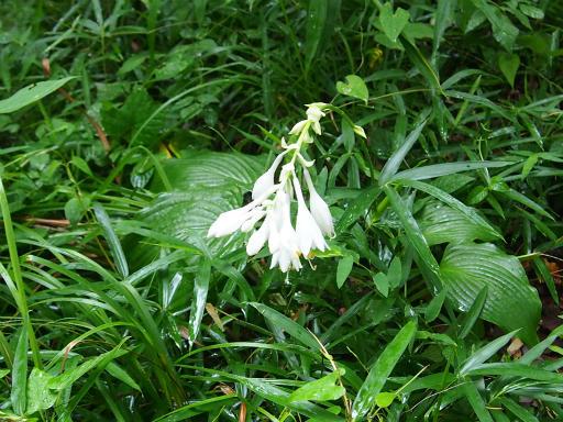 20160716・浅間山植物02・オオバギボウシ