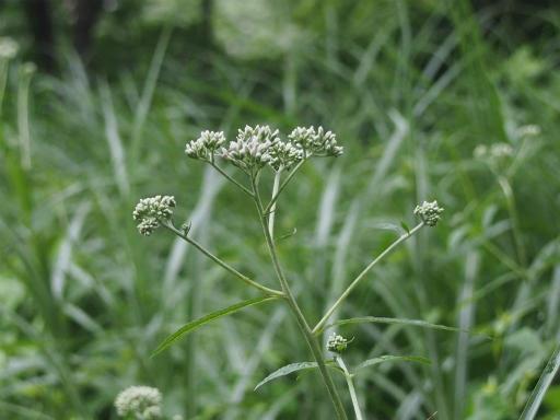 20160716・浅間山植物01・ヒヨドリバナ
