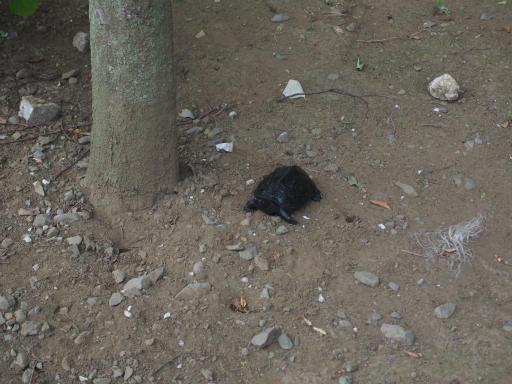 20160813・カメさん散歩17・クロはマゴマゴ