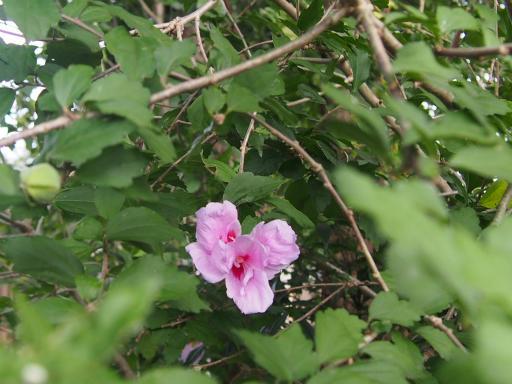 20160925・墓参り植物02・ムクゲ
