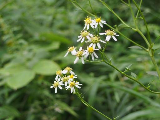 20160925・墓参り植物03・シラヤマギク