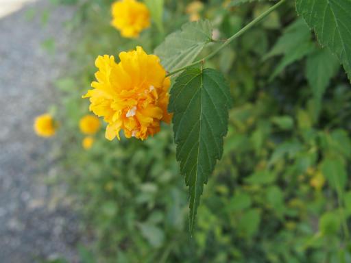 20161002・荒幡富士から狭山湖植物01・ヤマブキ