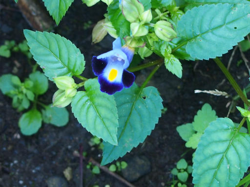 20161002・荒幡富士から狭山湖植物03・ハナウリグサ(トレニア)