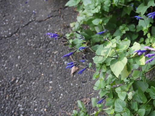 20161002・荒幡富士から狭山湖植物10・ブルーサルビア