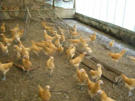 鶏舎 (1)