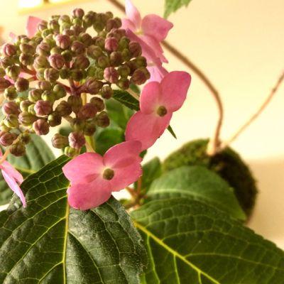 160515-紫陽花