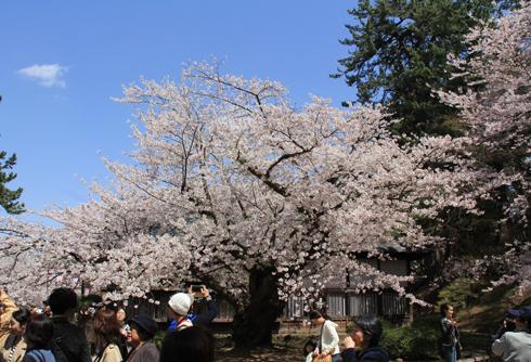 弘前桜祭り2016(1)-3