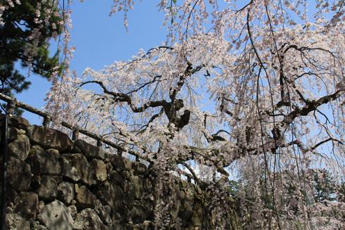 弘前桜祭り2016(1)-9
