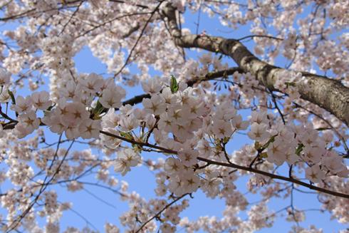 弘前桜祭り2016(2)-10