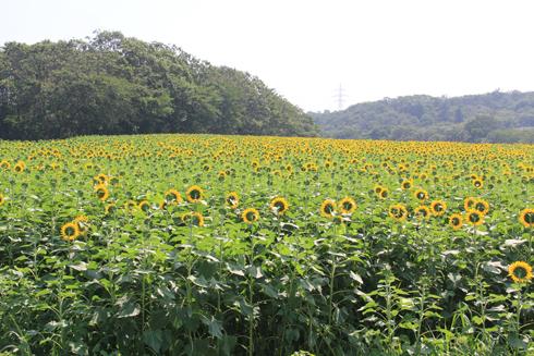 三本木ひまわり畑2016-7