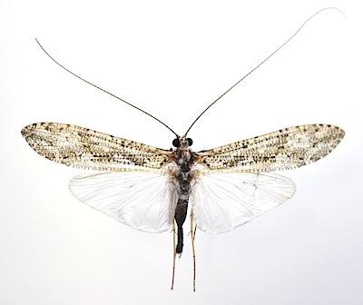 ヒゲナガカワトビケラ成虫展翅標本オス