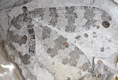 中国の昆虫化石