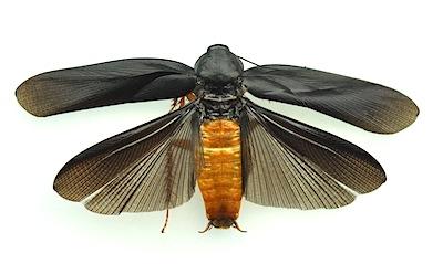 空飛ぶゴキブリ
