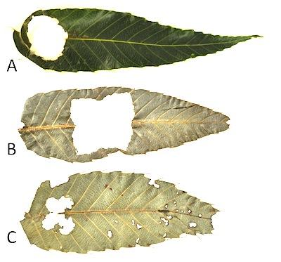 ムササビの食痕3タイプ