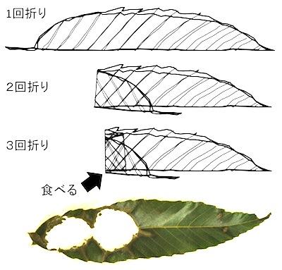 ムササビの葉の3回折り1