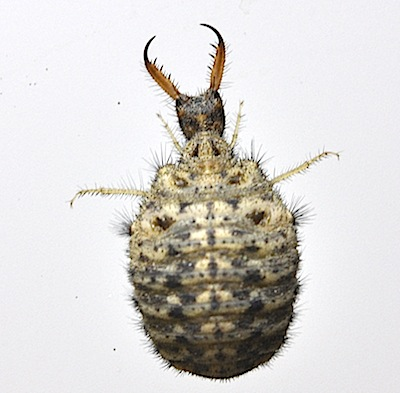 クロコウスバカゲロウ幼虫