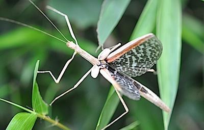 奇麗な翅を広げるナナフシ