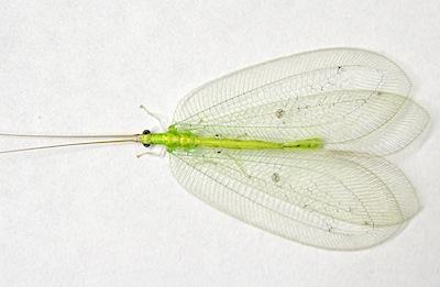 アミメクサカゲロウ成虫