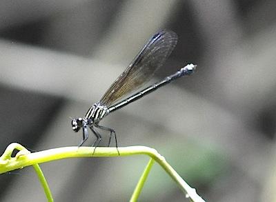 Euphaea decorata female