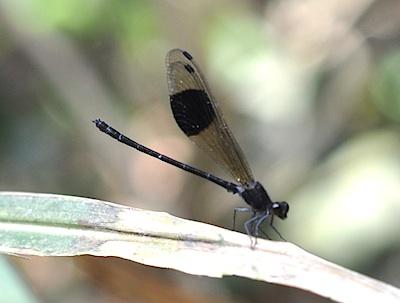 Euphaea decorata male