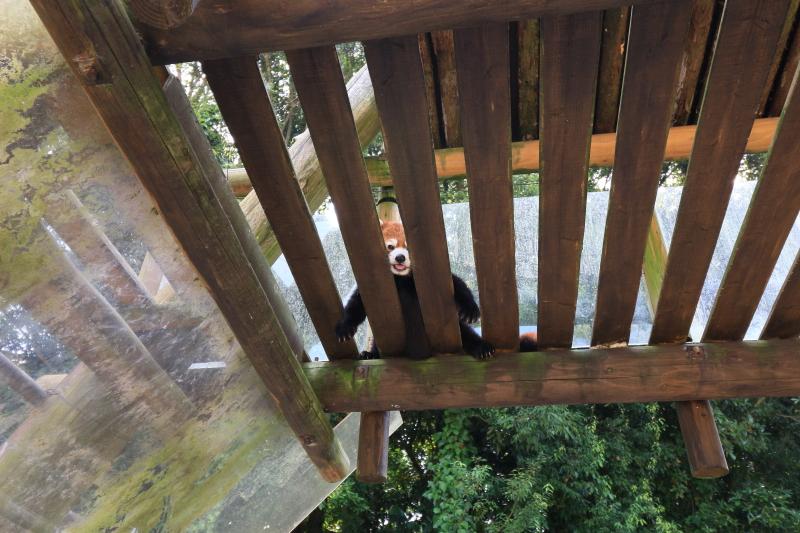 連日の猛暑でつらそうなレッサーパンダさん