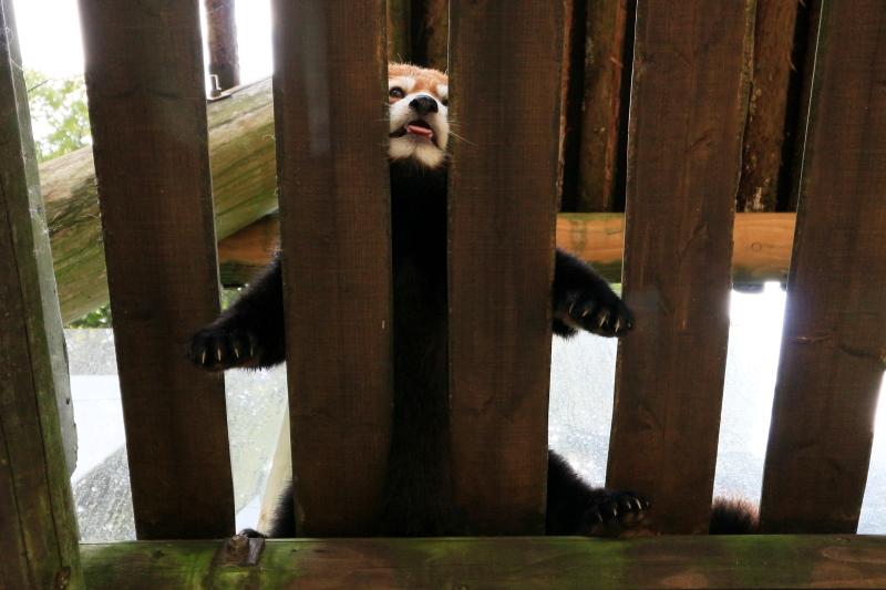 暑さに耐えているレッサーパンダさん