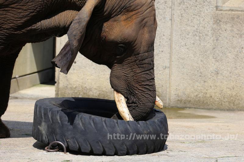アフリカゾウのリカさん、牙でタイヤを持ちあげて