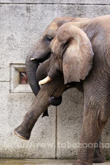 アフリカゾウのリカさんが、媛ちゃんの足をあげて・・・。